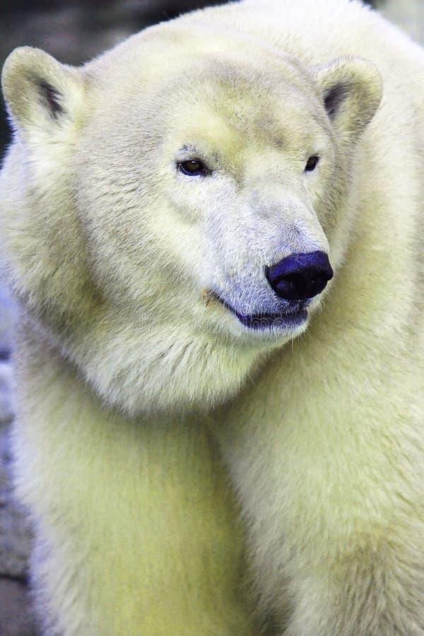 Polarbear immagine stock libera da diritti