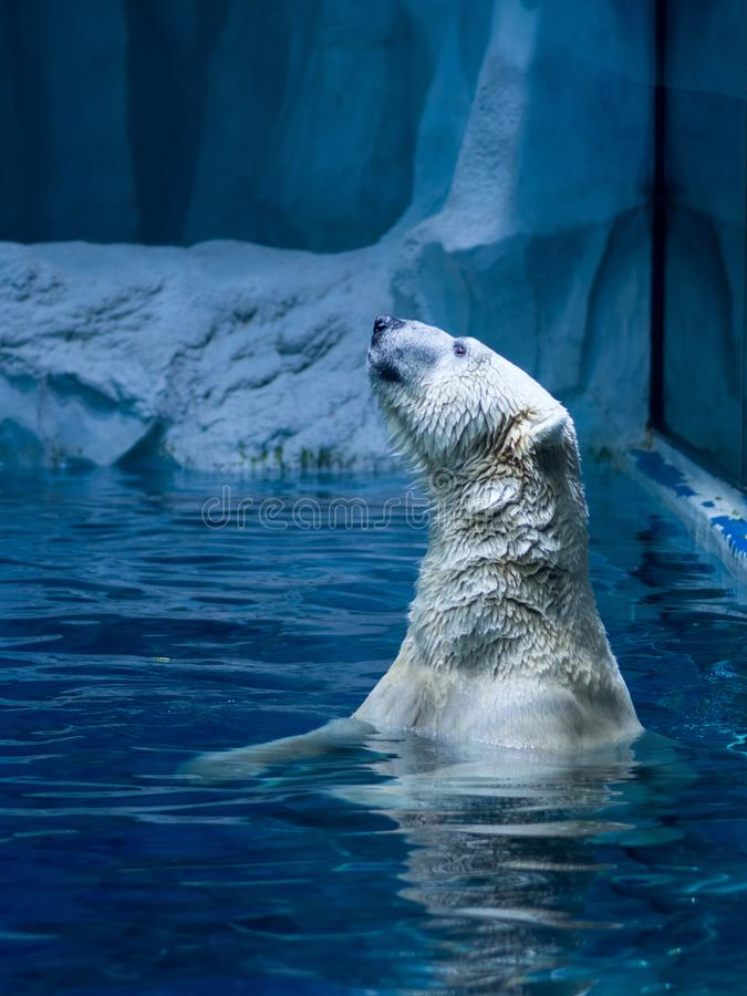 Polarbear in the zoo stock photo