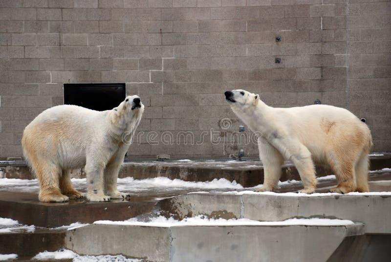 Polarbears lizenzfreie stockbilder