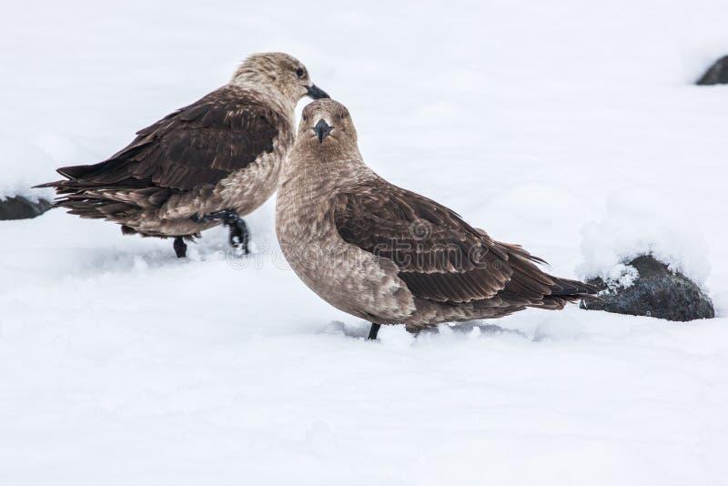 Polare Raubmöwesüdraubmöwe Browns, die auf dem Schnee, die Antarktis steht stockbild
