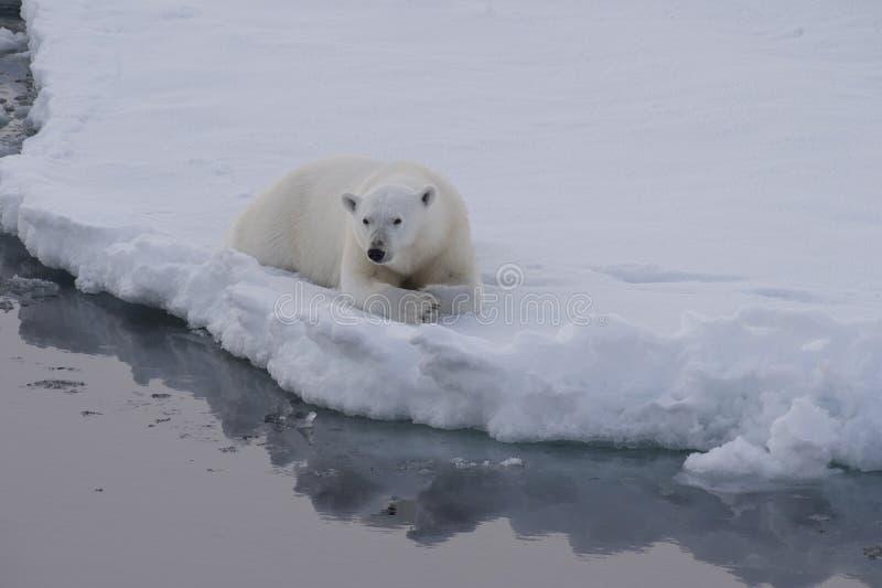 Polare riguardi il ghiaccio fotografie stock libere da diritti