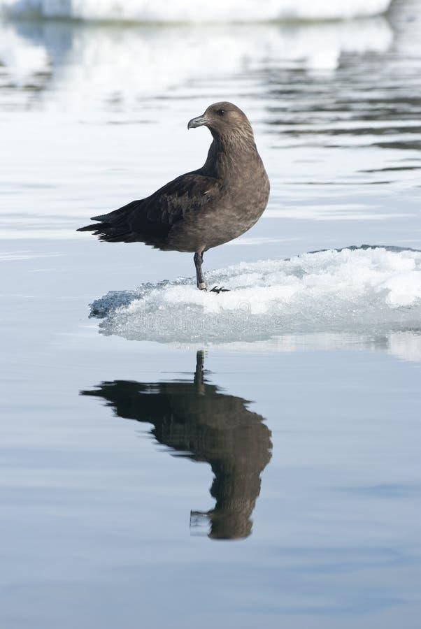 Polare Südskuas auf einem Eis Floe. lizenzfreie stockfotos