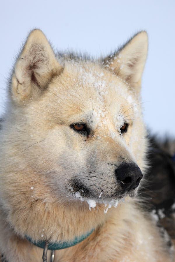 Polare-sopporti il cane di slitta del cacciatore con ghiaccio nella sua barba immagine stock