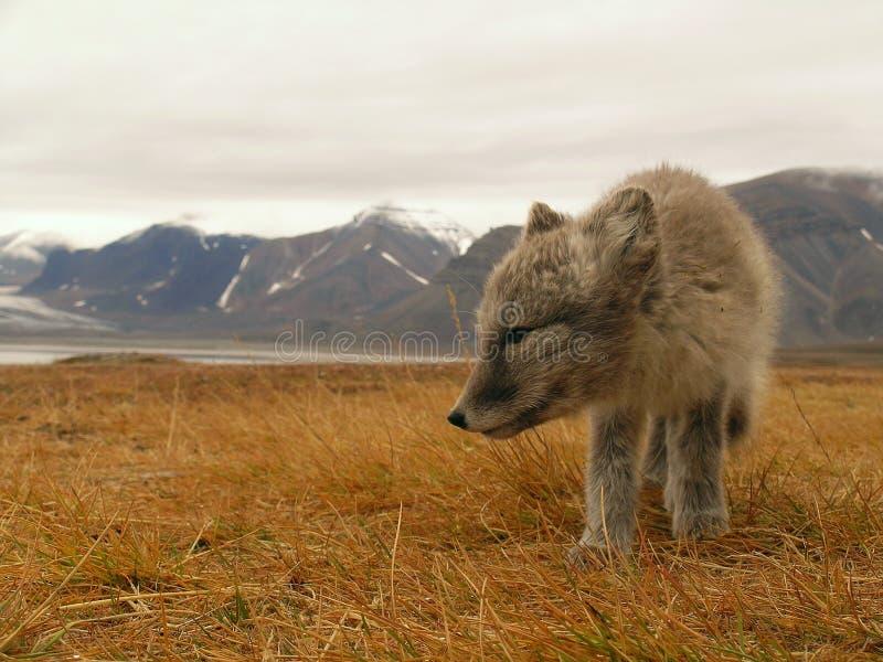 Polarer Fuchs stockfotos