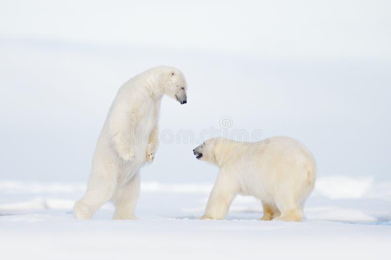 Polarer Kampf auf dem Eis Eisbär zwei, der auf Treibeise in arktischem Svalbard kämpft Winterszene der wild lebenden Tiere mit Ei lizenzfreie stockbilder