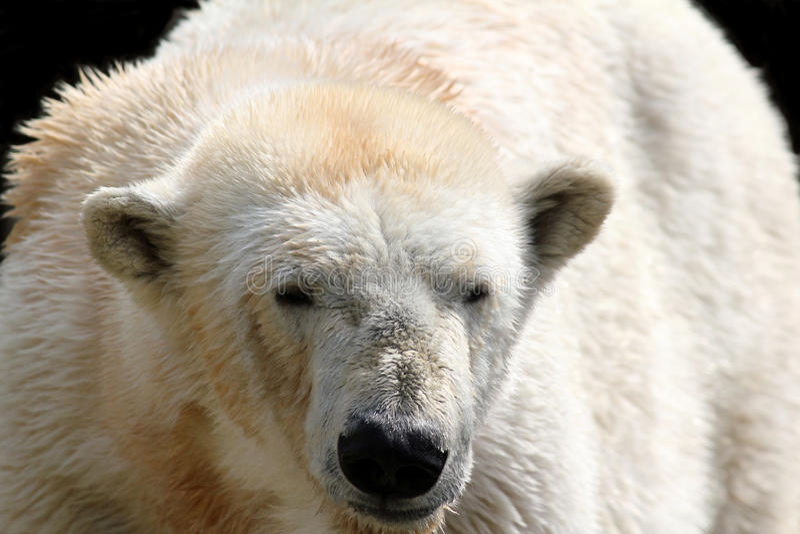 Polarer weißer Bär stockbild