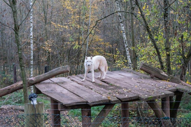Polarer Wolf im Zoo lizenzfreie stockfotos