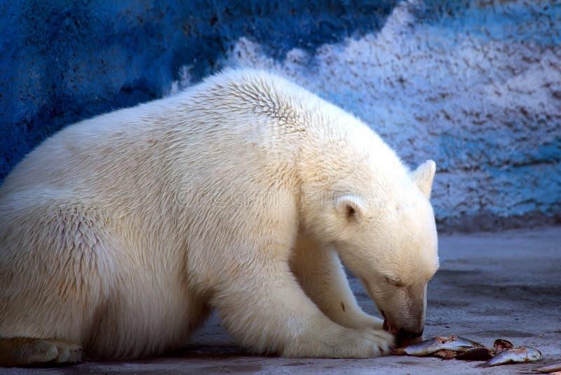 Polares Bear stockbild