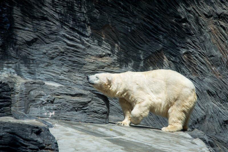 Polares Bear lizenzfreie stockbilder
