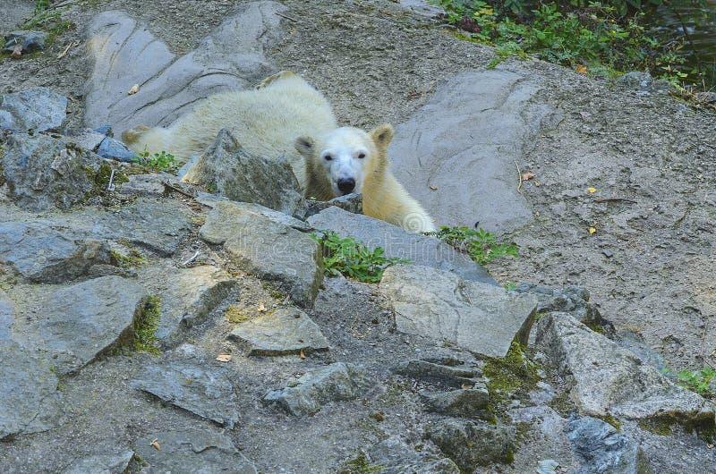 Polares Bear Verbreitungsgebiet: während des Eis-bedeckten Wassers der zirkumpolaren Arktis und ihrer Strecke ist vorbei begrenzt stockbild