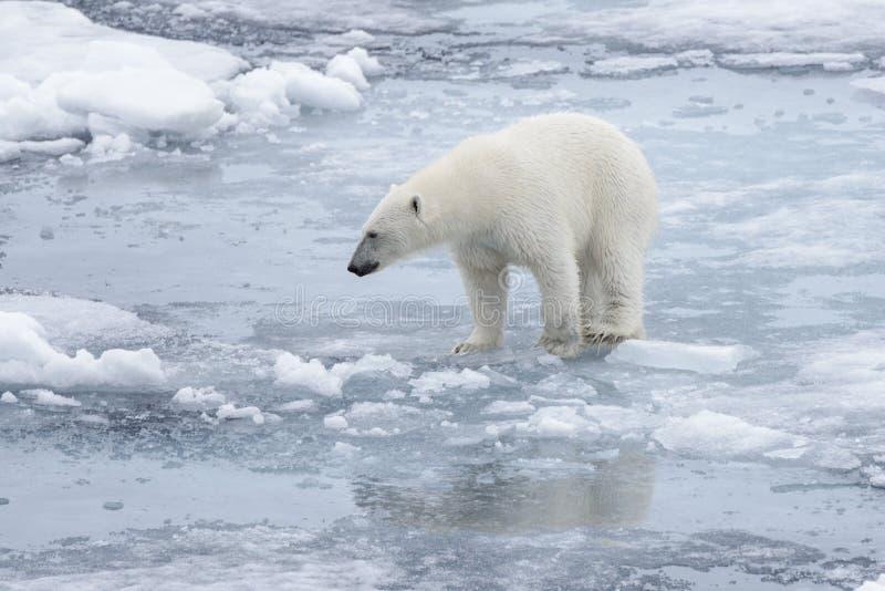 Polari selvaggi riguardano la banchisa in mare artico fotografie stock libere da diritti