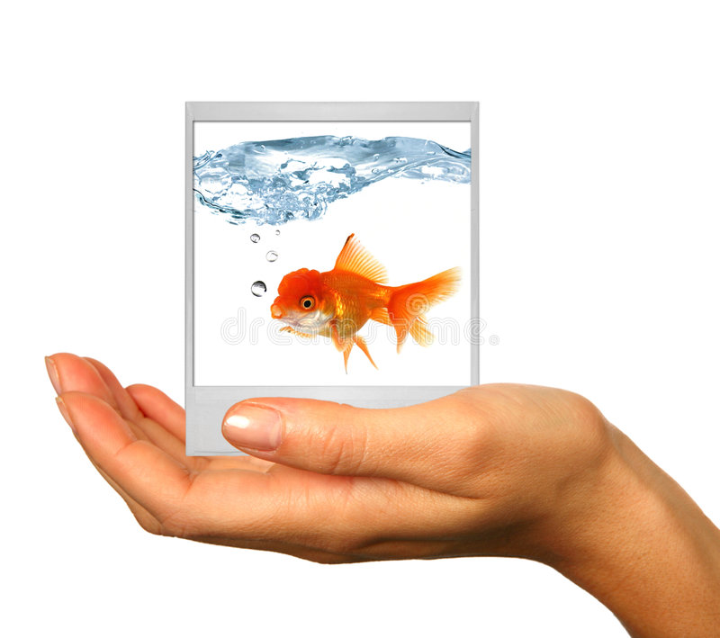Polaroid Image of a Goldfish royalty free stock images