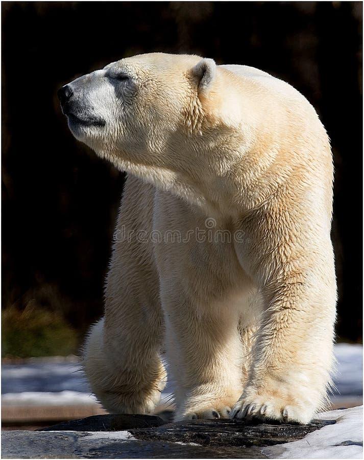 polart gå för björn royaltyfri fotografi