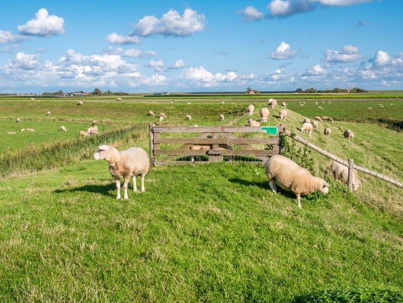 Polderlandskap med att beta får, diket, grässlätten och farmhou arkivfoton