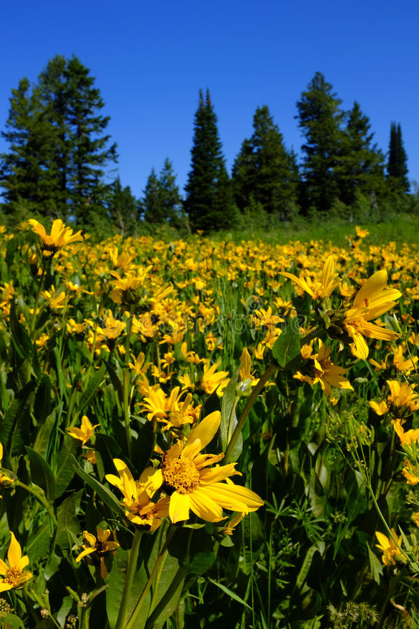 Pole Żółci Wildflowers i ślad fotografia royalty free