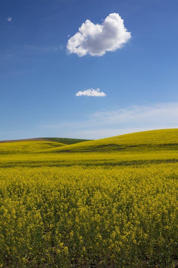 Pole żółty rapeseed Palouse region stan washington Stany Zjednoczone Ameryka obrazy stock