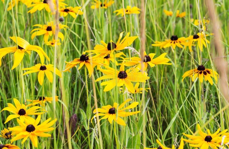 Pole Żółty Rudbeckia (Z podbitym okiem Susan kwiat) obraz stock