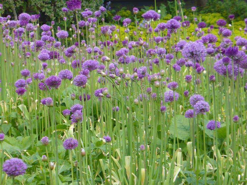 Pole Alliums fotografia stock