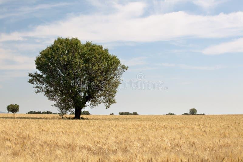 pole banatka pojedyncza drzewna zdjęcie stock
