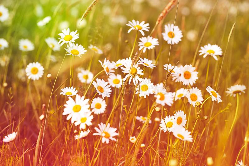 Pole białej stokrotki kwiaty obrazy royalty free