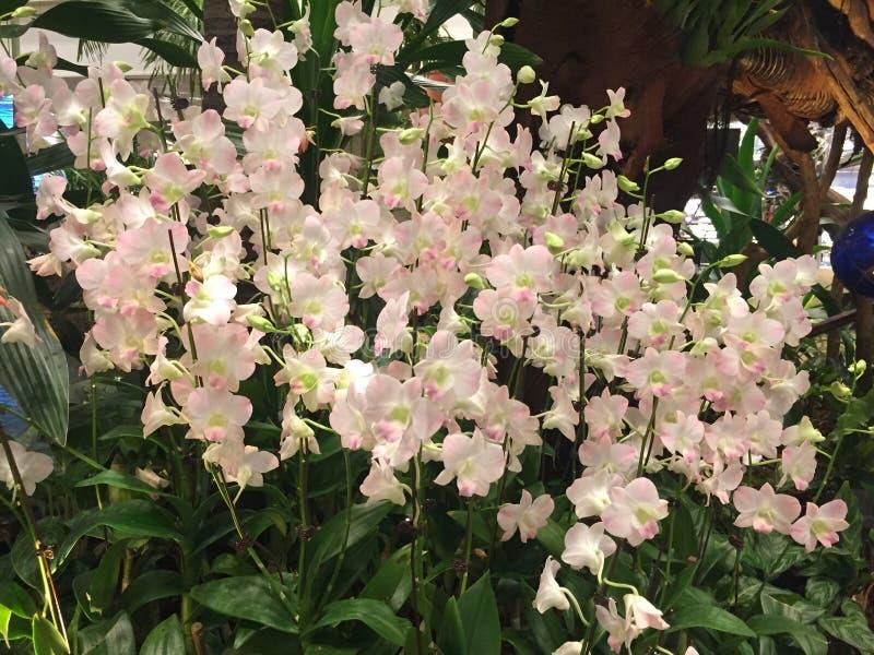 Pole biel i lekkie zakurzone różowe orchidee Dendrobium obraz royalty free
