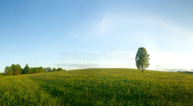 pole brzozy samotny zdjęcie royalty free