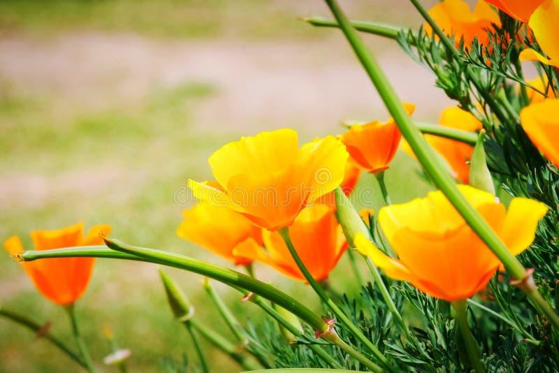 Pole California maczka Eschscholzia californica kwitnie, Piękni pomarańcze kwiaty fotografia royalty free