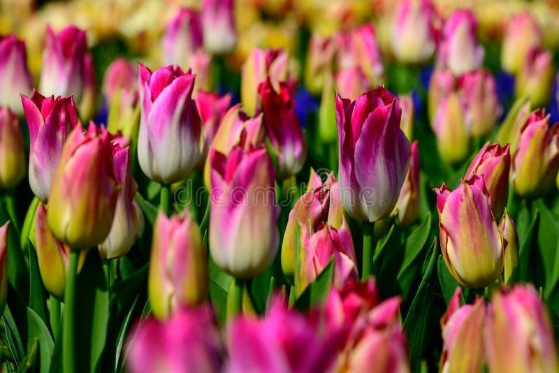 Pole colourful tulipany w Holandia, wiosna czas kwitnie w Keukenhof obrazy royalty free