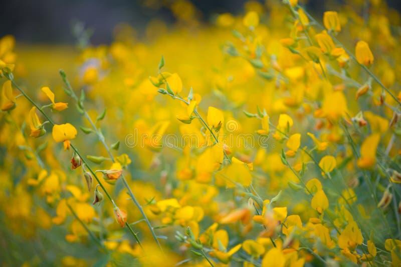Pole Crotalaria Juncea lub sunn konopie zdjęcia stock