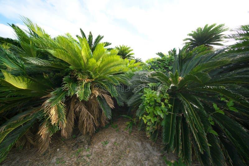 Pole Cycas revoluta, Paprociowa palma lub Sago palma przy przylądkiem Ayamaru w Amami Oshima wyspie zdjęcia royalty free