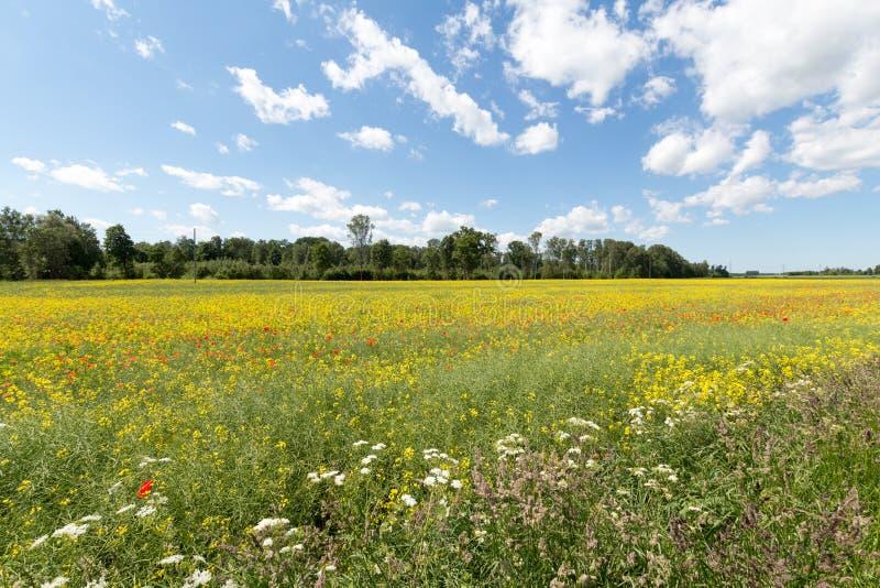 Pole czerwieni i koloru żółtego kwiaty zdjęcia royalty free