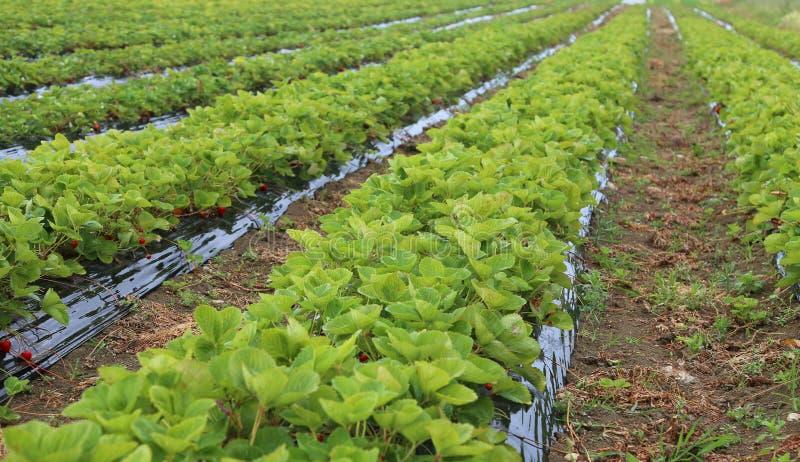 pole czerwone truskawki w wiośnie na równinie fotografia stock