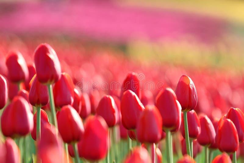 Pole czerwony tulipan na wzgórzu w słonecznym dniu zdjęcie royalty free