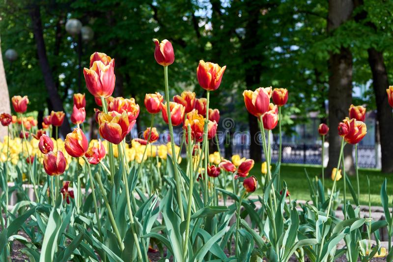 Pole czerwony tulipanu mayday obrazy royalty free