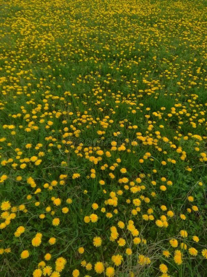 Pole dandelions fotografia stock