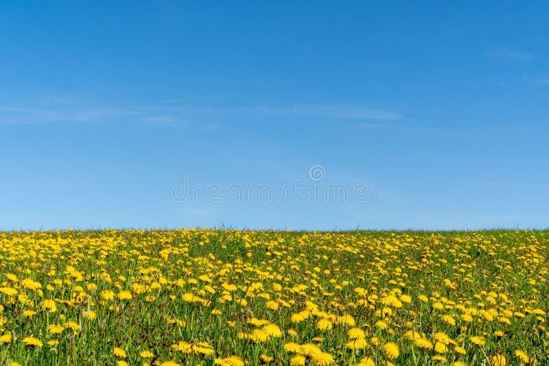 Pole dandelions obraz stock