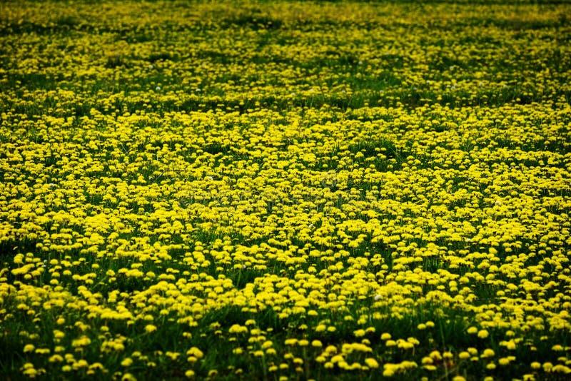 Pole Dandelions Dandelion koloru żółtego kwiaty zdjęcie royalty free