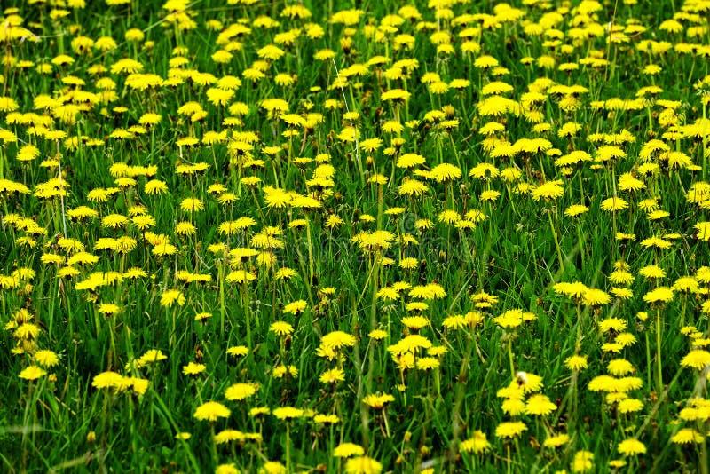 Pole Dandelions Dandelion koloru żółtego kwiaty fotografia stock
