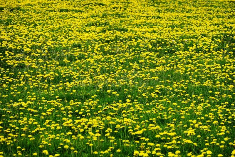 Pole Dandelions Dandelion koloru żółtego kwiaty obrazy royalty free