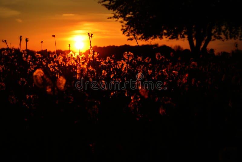 Pole Dandelions przy zmierzchem obrazy royalty free