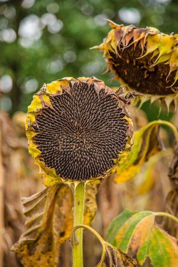 Pole dojrzewający słoneczniki, przygotowywający zbierać ziarna Jesieni żniwo obrazy royalty free