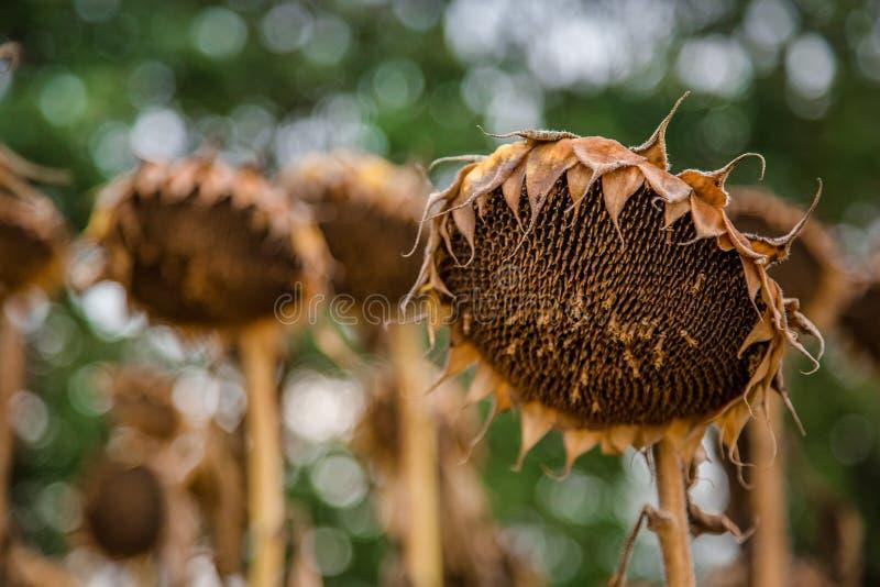 Pole dojrzewający słoneczniki, przygotowywający zbierać ziarna Jesieni żniwo zdjęcie royalty free