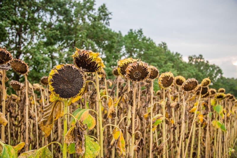 Pole dojrzewający słoneczniki, przygotowywający zbierać ziarna Jesieni żniwo zdjęcia royalty free