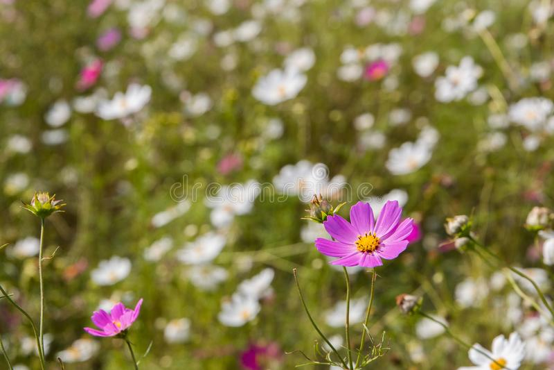 Pole dzicy kosmosów kwiaty z jeden purpurą kwitnie pozycję out zdjęcia stock