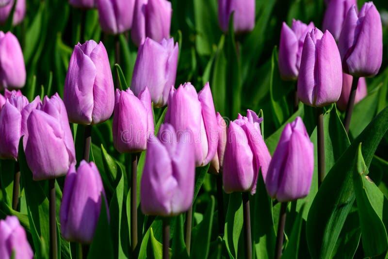Pole fio?kowi tulipany w Holandia, wiosna czasu colourful kwiaty obraz royalty free