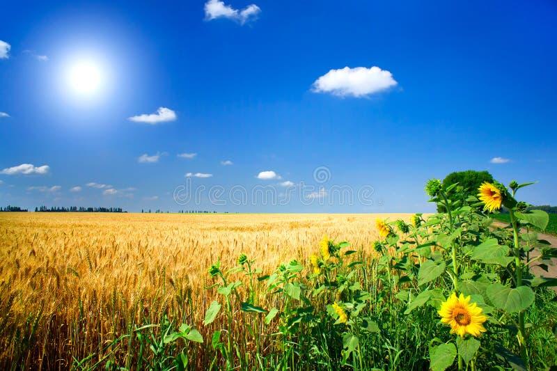 pole folował złotej nasieniodajnej banatki fotografia royalty free