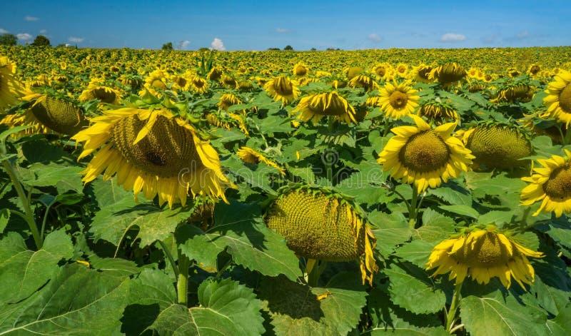 Pole Gigantyczni słoneczniki -2 obrazy stock