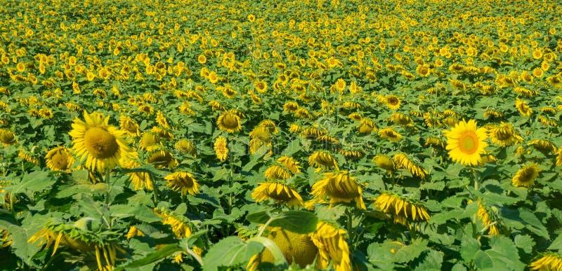 Pole Gigantyczni słoneczniki - 2 zdjęcie stock
