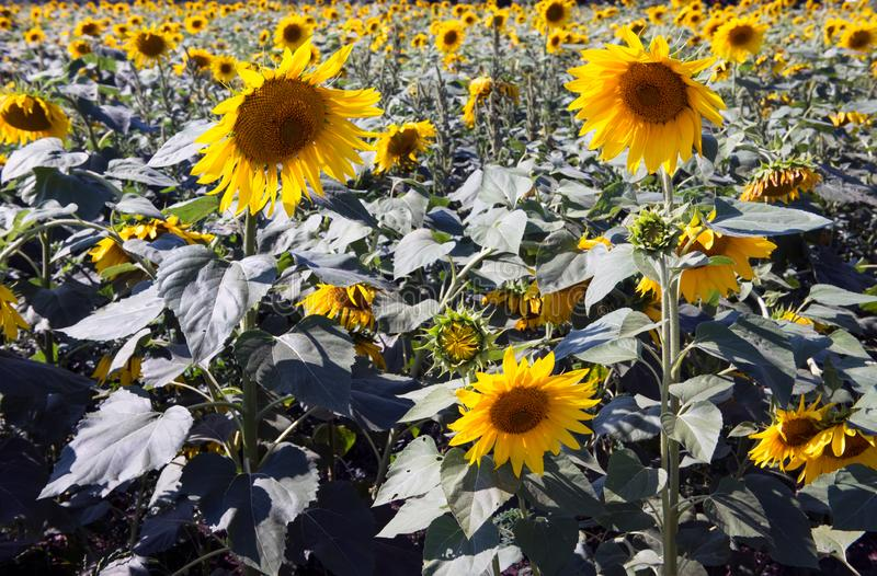 Pole gigantyczni słoneczniki na pięknym lecie zdjęcie royalty free