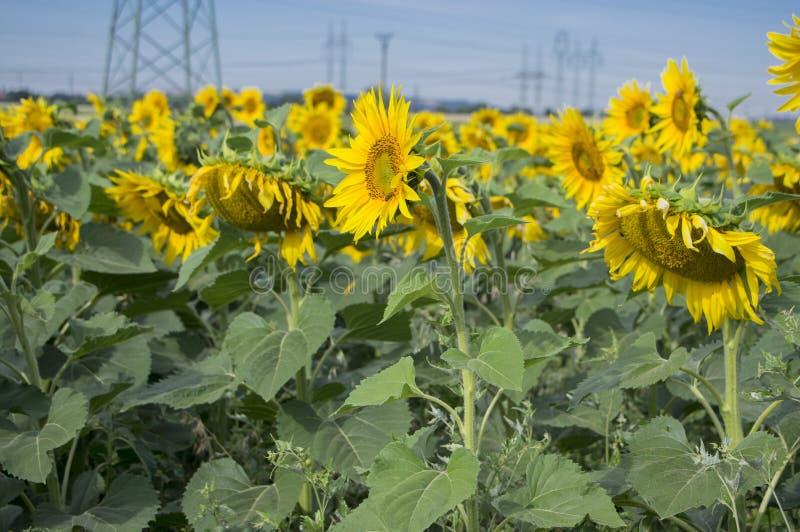 Pole Helianthus annuus pełno kwitnie w kwiacie, jaskrawe żółte kwiatonośne rośliny, grupa słoneczniki fotografia royalty free